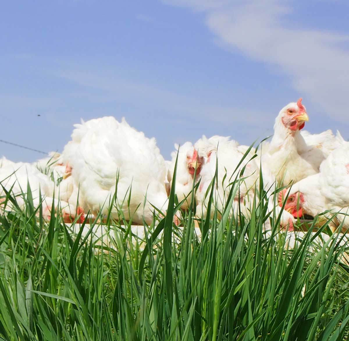 Pastured-Poultry White Birds on Roost