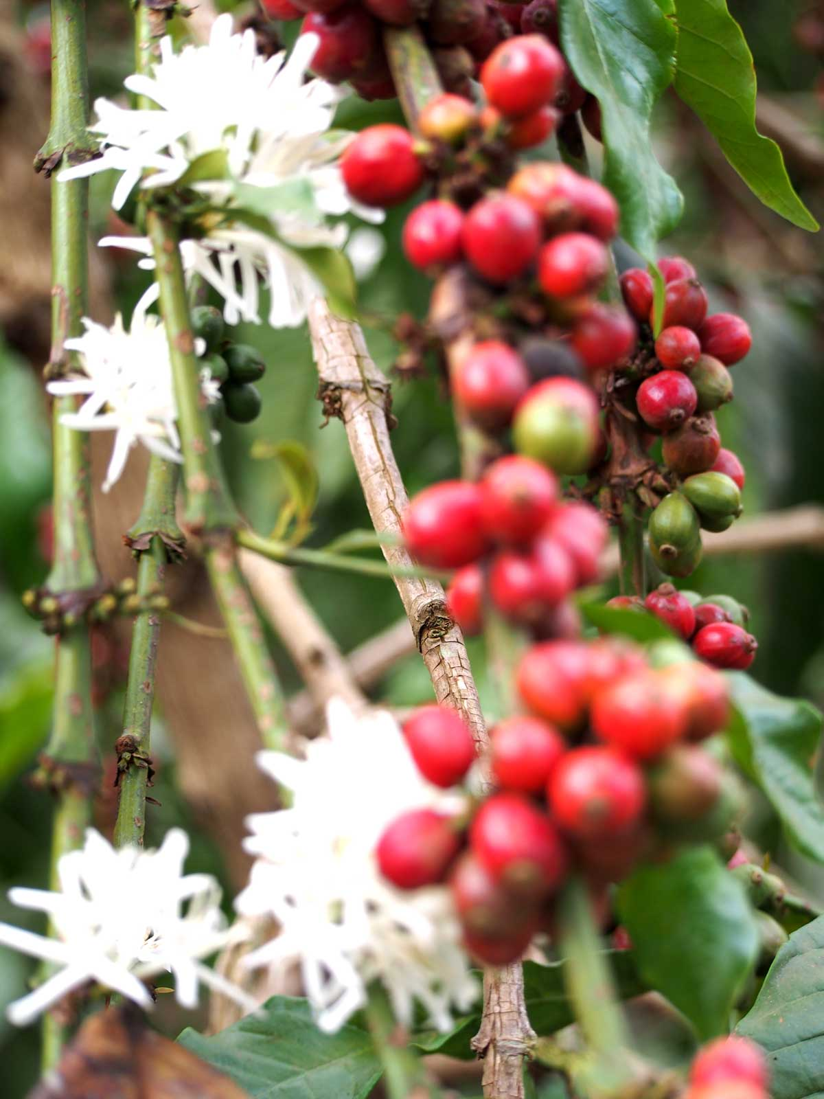 coffee blossoms and berries