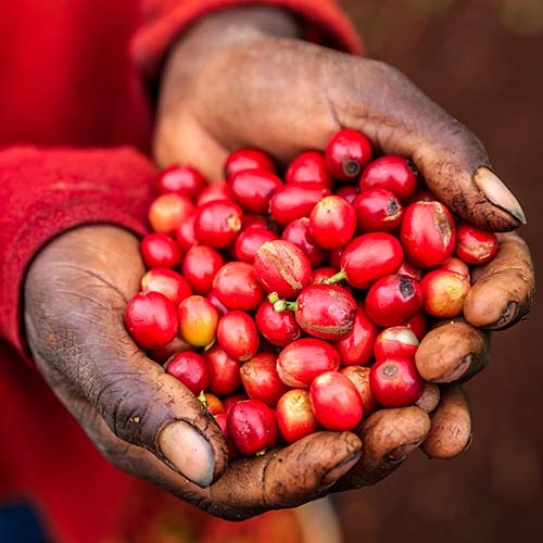 Hands holding red coffee beans